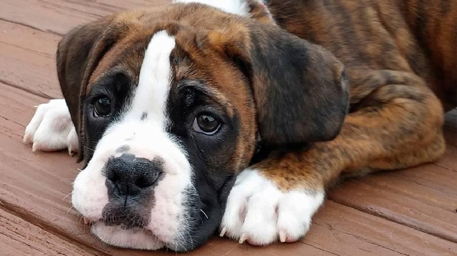 بهترین نژاد سگ خانگی بهترین سگ خانگی نژاد سگ باکسر (Boxer)