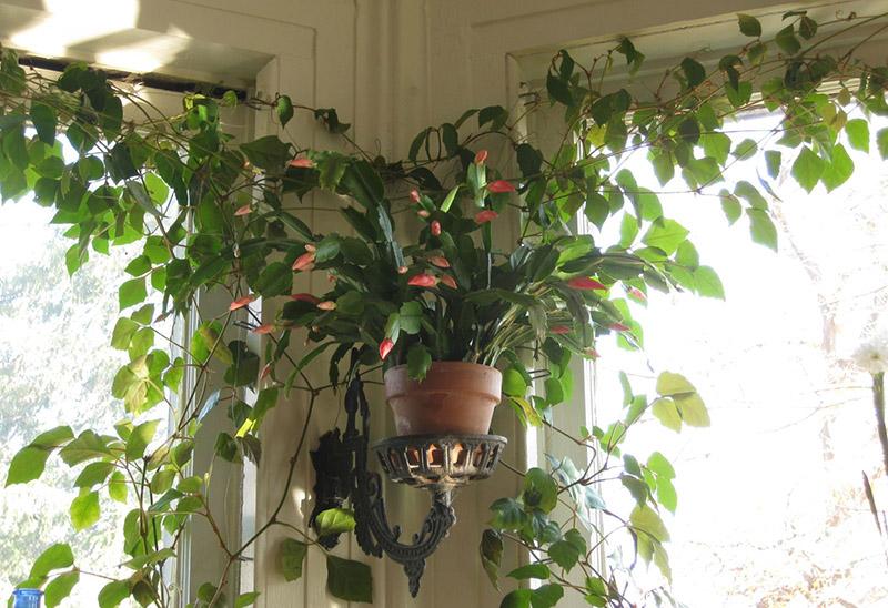تمیز کردن برگ گیاهان آپارتمانی و نکات مربوط به آن