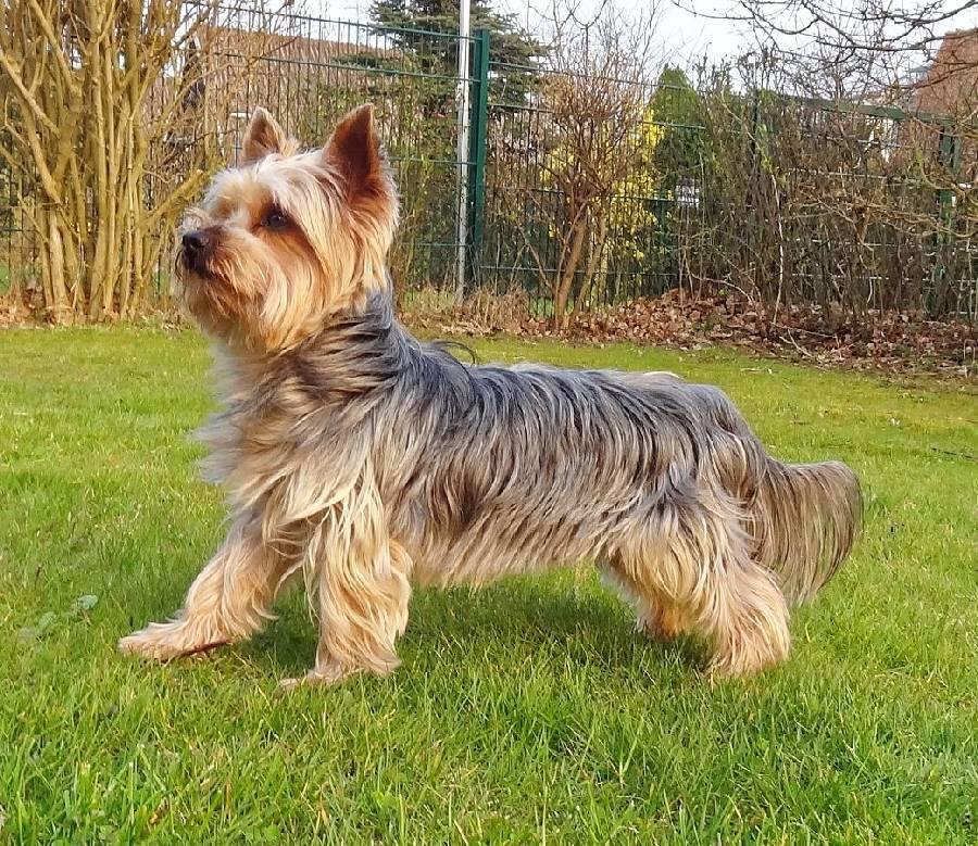 بهترین نژاد سگ خانگی آپارتمان یورکشایر تریر (Yorkshire Terrier)